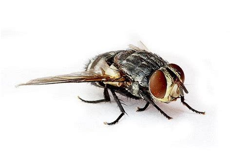 sand fliese sand fly facts bites how to get rid of these blood