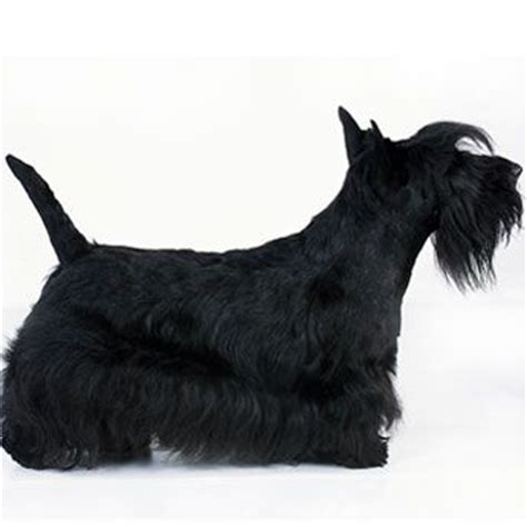 scottish yerrier haircuts scottish terrier haircut scotties pinterest