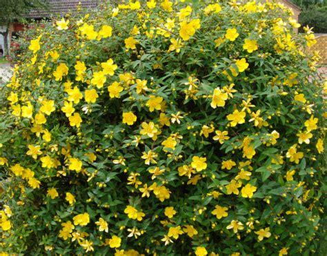 shrubs with yellow flowers in summer back garden hypericum hidcote st s wort yellow