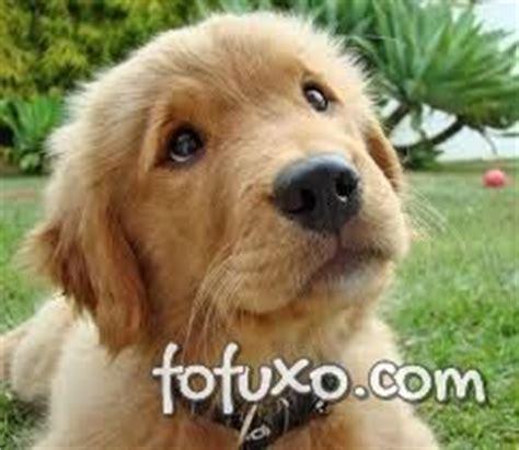 golden retriever filhote preço golden retriever ra 231 as de cachorros