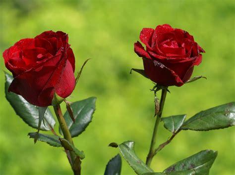 imagenes de rosas rojas hermosas con movimiento rosas hermosas fotos rosas m 225 s bellas fondos de pantalla