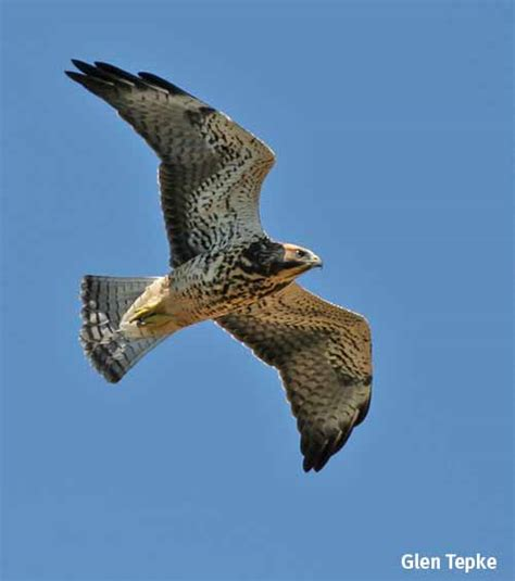 swainson s hawks continue to rule the central valley