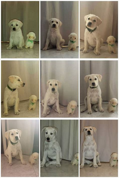 golden retriever growth stages pictures lab puppy growth stages gallery