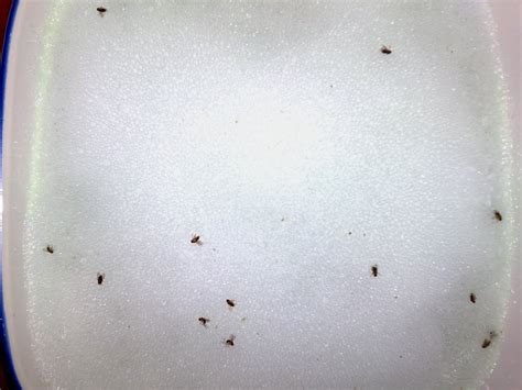 where do gnats come from in the bathroom 28 images