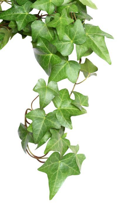 edera da appartamento le piante antinquinamento unadonna