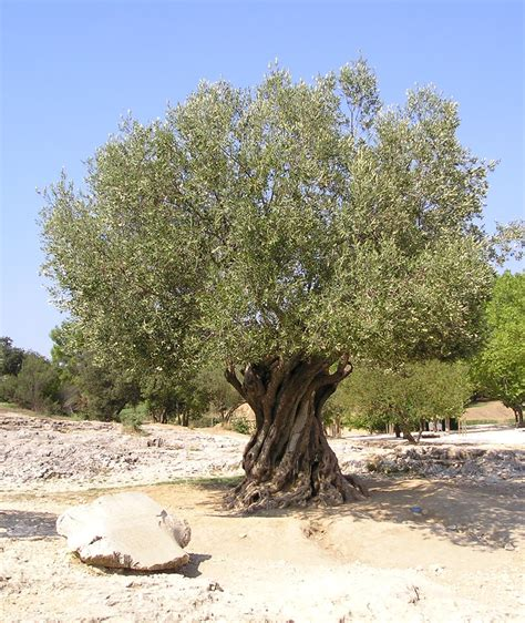olive tree fruit tree planting guide cyprus gardener information tips and advice on growing organic