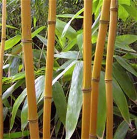 Bibit Rumput Gajah Di Makassar harga tanaman bambu jepang tanamanbaru