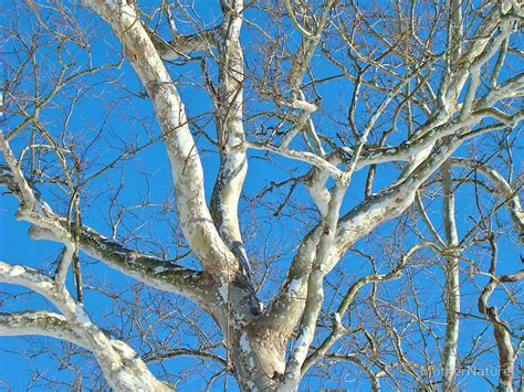 american sycamore quot american sycamore platanus occidentalis tree quot by
