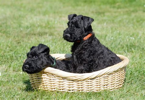 kerry blue terrier puppies kerry blue terrier dogs breed information omlet