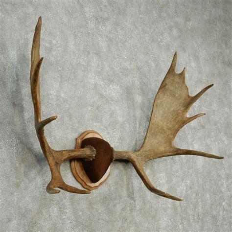 image gallery moose horns
