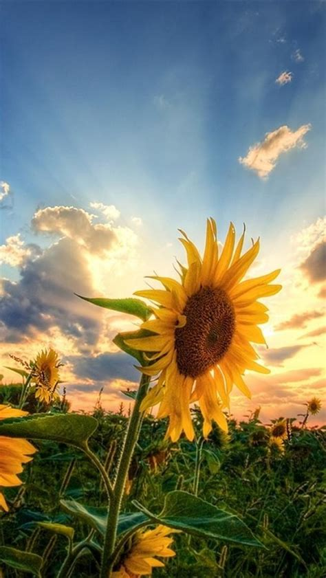 wallpaper for iphone sunflower sunflower field iphone 5 wallpapers hd 640x1136 background