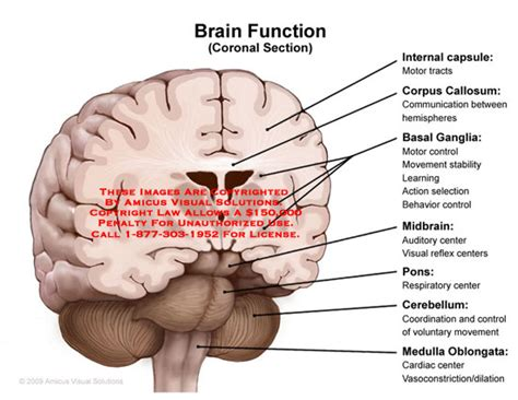 what is the purpose of a sectional view brain function coronal section