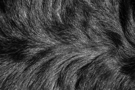 rottweiler fur structure of fur of a of breed a rottweiler stock photo image 62366744