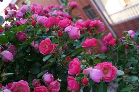 fiori da piantare in giardino piantare le piante da giardino coltivare