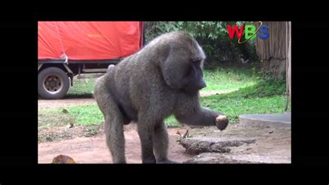 experts claim  baboon    human  youtube