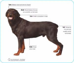 american vs german rottweiler 16 best images about german rottweiler on him german rottweiler