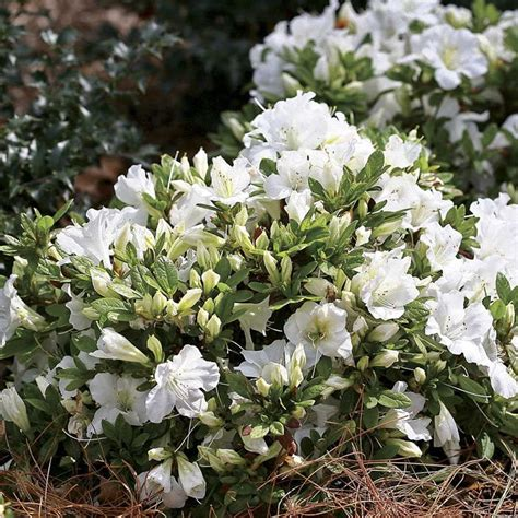 evergreen shrubs with white flowers 17 best images about flowering evergreen shrubs on