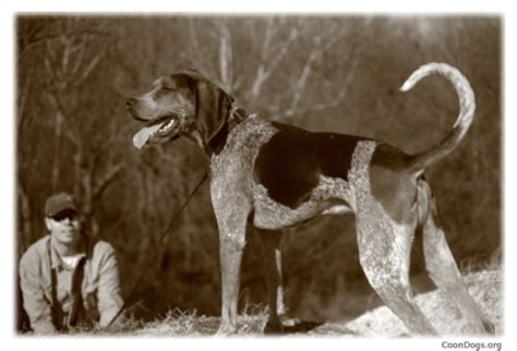 what does a walker hound dog look like coondogs org