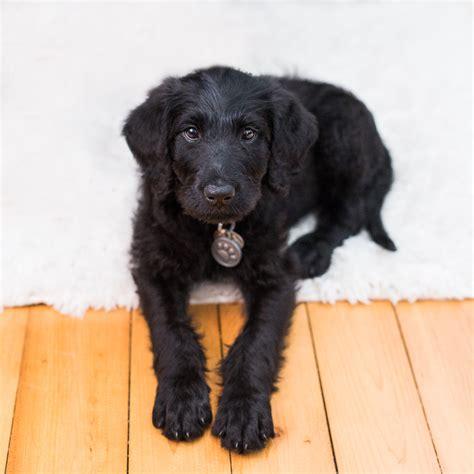 black labradoodle puppy disney the black labradoodle puppy the o jays the black and labradoodle puppies