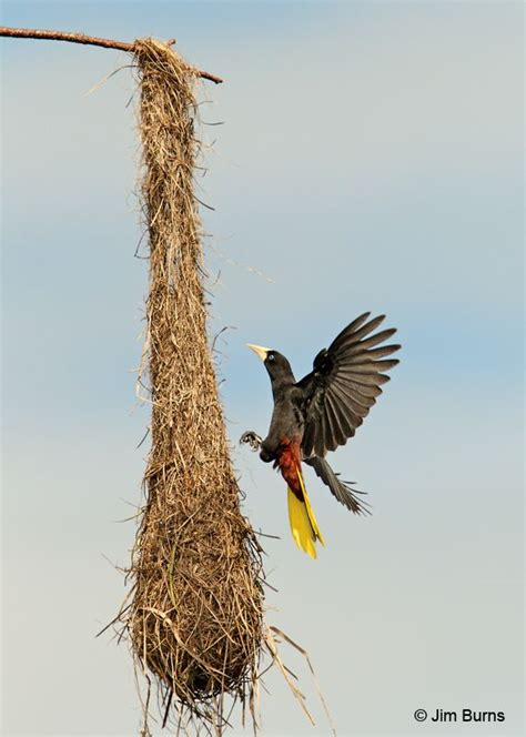 260 best images about bird nests on pinterest madagascar