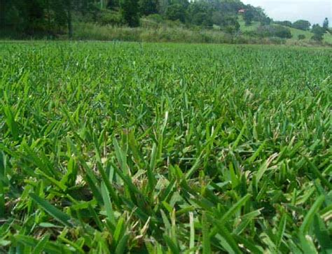 scientific name of couch grass environmentallearning grasslands