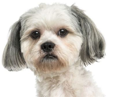 what to do about separation anxiety in shih tzu seizures in dogs what to do causes and treatment animal wellness guide