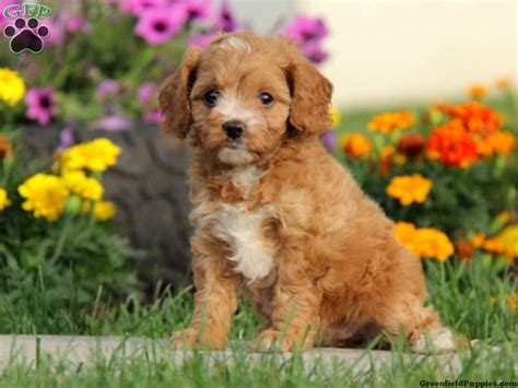 cavapoo puppies for sale in pa cavapoo puppies for sale in pa puppies