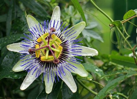 passiflora fiore della passione passiflora fiore della passione consigli coltivazione