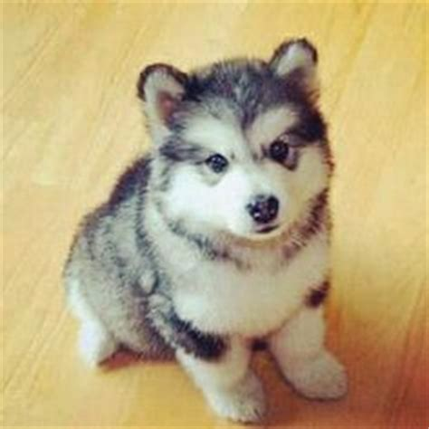 can you breed a pomeranian with a husky the pomeranian husky information pictures breeders