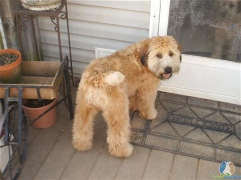 soft coated wheaten cuts 17 best images about soft coated wheaton terrier s on
