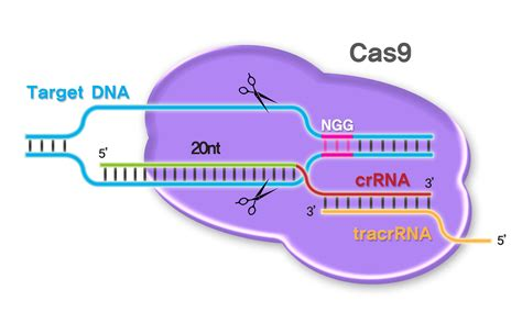 crispr cas crispr cas9 not just another scientific revolution