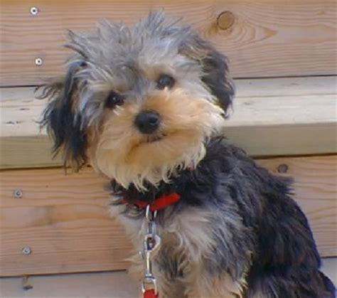 mix yorkie and poodle terrier poodle mix dogable