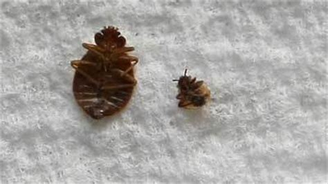 dead bed bug bedbugs the top 15 cities with bedbugs chicago tribune