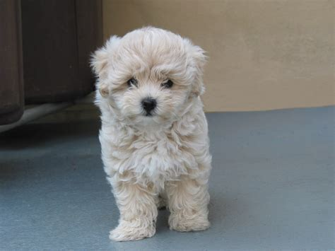 poodle mix with shih tzu maltese poodle so animals shih tzu