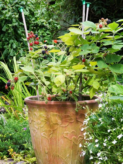 hardest plant to grow how to grow blackberry plants in pots hgtv