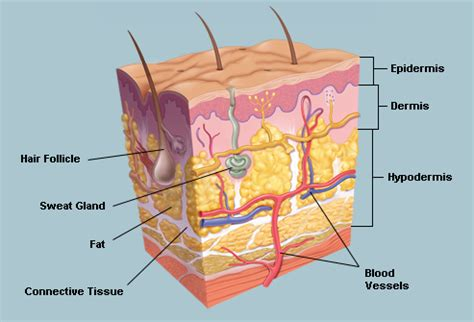 skin anatomy diagram labeled human words and definition thinglink
