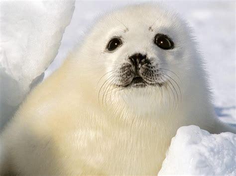 imagenes de focas blancas la foca fauna del polo norte
