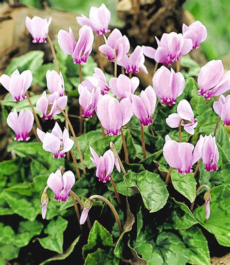 Baldur Garten Winterharte Pflanzen by Winterharte Duft Alpenveilchen Sonderartikel Bei Baldur