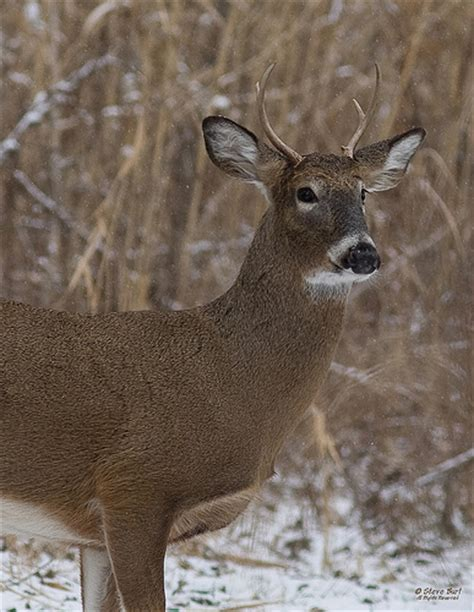 4 point buck four point buck this is a white tailed buck