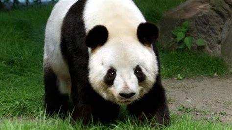 libro oso panda oso panda una tala ilegal en el santuario de pandas de sichuan en china pone en peligro a la especie