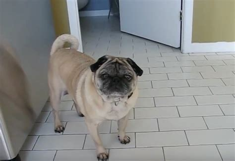 pug sounds this pug to eat when you hear the sounds he makes while munching