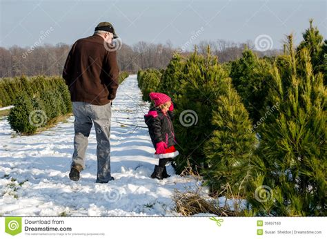 searching for the perfect christmas tree stock image