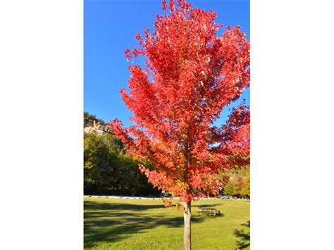 best maple tree varieties maple tree strange s florists greenhouses garden centers richmond va