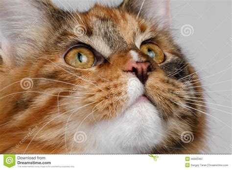 Closeup Ginger Scottish Fold Cat On Gray Background In