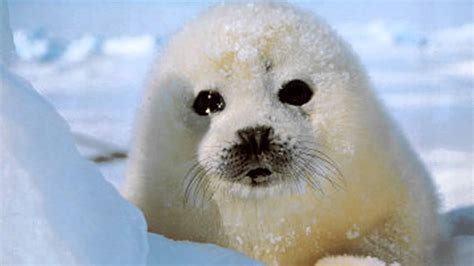 Nigel Barkers Saving Baby Seals While Waiting For His Own by Ronan Keating If Tomorrow Never Comes Baby Harp Seal Hd