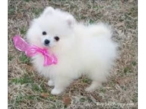 black and white teacup pomeranian for sale white and black teacup pomeranian puppies for adoption animals abbeville