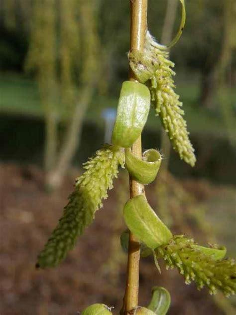 treurwilg mannelijke bloem english