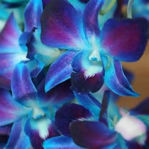 blue dendrobium orchids 301 moved permanently
