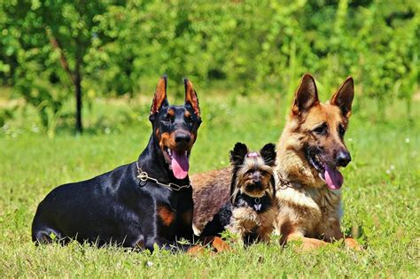 breeds for families 4 recommended best large breeds with gentle nature