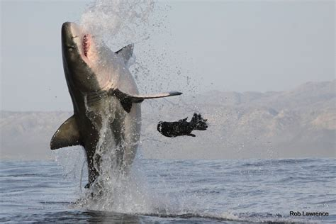 dive with sharks in south africa fly fighter jets more great white shark legend production update